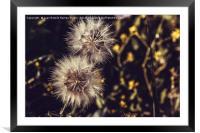 Dandelion among flowers, Framed Mounted Print