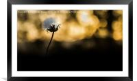 Dandelion comes out of the shadows, Framed Mounted Print