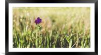 Field of purple flowers, Framed Mounted Print