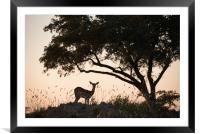 Impala glow, Framed Mounted Print