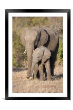 Mother & calf, Framed Mounted Print