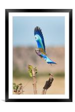 Roller in flight, Framed Mounted Print