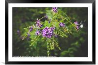 Beautiful Purple Pigeon Berry Flower, Framed Mounted Print
