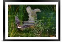 Greater horseshoe bat, Framed Mounted Print
