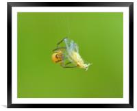 My first catch., Framed Mounted Print