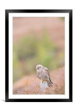 Common Kestrel (Falco Tinnuculus) perched on stump, Framed Mounted Print