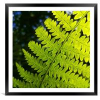 A fern with water drops on, Framed Mounted Print