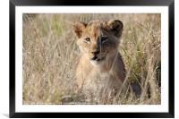 Lion Cub, Framed Mounted Print