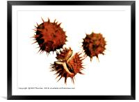 Three Conkers, Framed Mounted Print