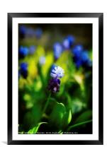 A bunch of flowering Two-Tone Grape Hyacinths, No., Framed Mounted Print