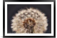 Close up of a Dandelion head., Framed Mounted Print