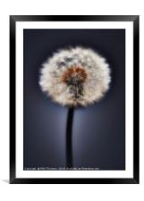 Close up of a Dandelion head, No. 2., Framed Mounted Print