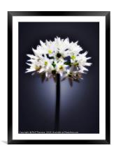 Wild Garlic flower, Framed Mounted Print