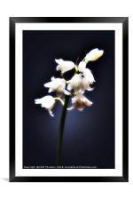 The white Bluebell., Framed Mounted Print