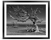 Driftwood Tree, Framed Mounted Print