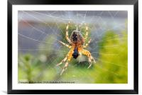 A Spider in its Web, Framed Mounted Print
