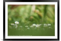 Hazy Daisies, Framed Mounted Print