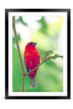 Exotic Red Bird, Framed Mounted Print