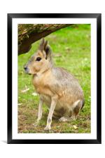 Patagonian Mara, Cotswolds, England, Framed Mounted Print