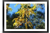 Aspen Sunshine, Framed Mounted Print