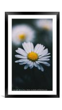 Daisy In The Grass, Framed Mounted Print