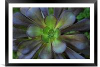 Flower Cactus, Framed Mounted Print