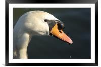 Swan, Framed Mounted Print