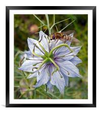Wasp on Blue Flower, Framed Mounted Print