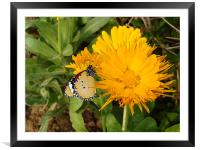 Butterfly on a yellow flower.... , Framed Mounted Print