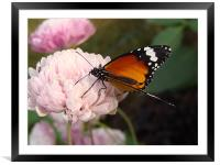 A Butterfly on a pink flower , Framed Mounted Print