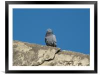 pigeon on ruins , Framed Mounted Print