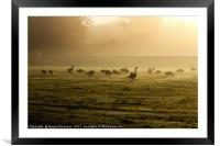 Canada Geese at Dawn, Framed Mounted Print
