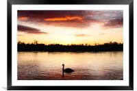 Swan at Sunset, Framed Mounted Print