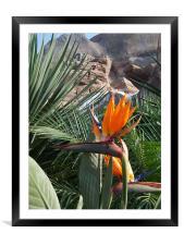 Bird of Paradise , Framed Mounted Print