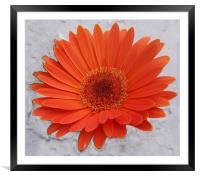 Orange Gerbera , Framed Mounted Print