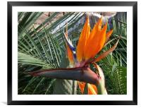 Bird of Paradise Crop, Framed Mounted Print