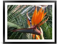 Bird of Paradise Crop, Framed Mounted Print