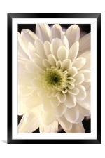 white flower , Framed Mounted Print