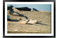 Seals on a Norfolk beach, Framed Mounted Print