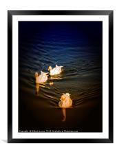 3 white ducks, Framed Mounted Print