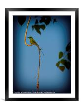 Indian Bee Eater, Framed Mounted Print