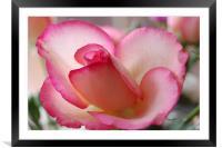 lovely rose, Framed Mounted Print