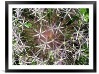 Allium, Framed Mounted Print