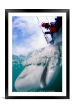 tagging a sandbar shark (Carcharhinus plumbeus) , Framed Mounted Print