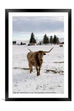 bull in the snow Wyoming WY USA, Framed Mounted Print