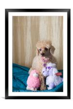 Apricot Miniature Poodle , Framed Mounted Print