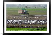 a flock of Eurasian Cranes, Framed Mounted Print