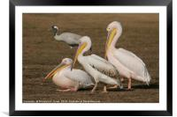three Pelicans , Framed Mounted Print