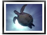 Turtle Silhouette, Framed Mounted Print