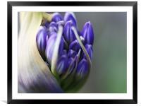 Agapanthus - Macro Bloom, Framed Mounted Print